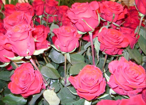Día de la Rosa 2013